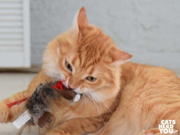 orange tabby cat plays with plush toy
