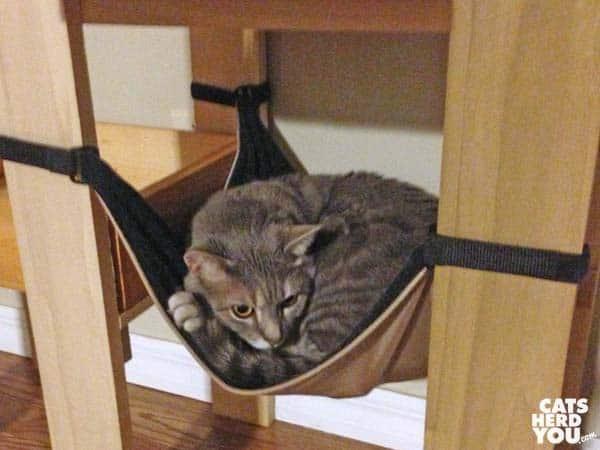gray tabby cat in cat tree hammock