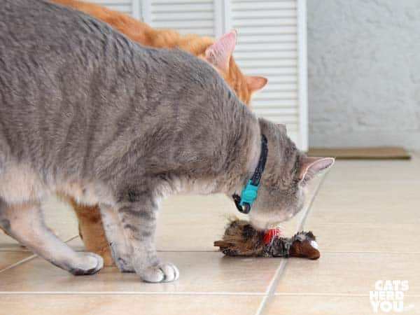 gray tabby cat and orange tabby cat look at stuffed toy