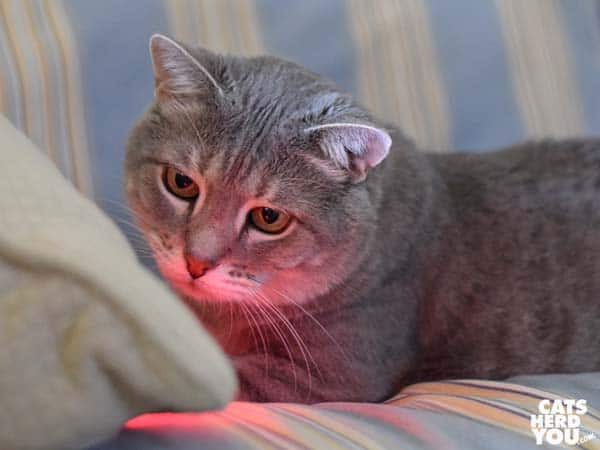 gray tabby bathed in red glow