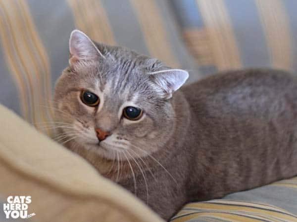 gray tabby cat with big, dark eyes