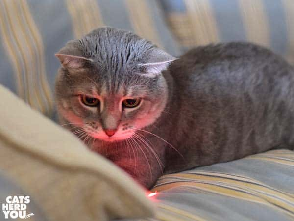 gray tabby cat and red dot glow