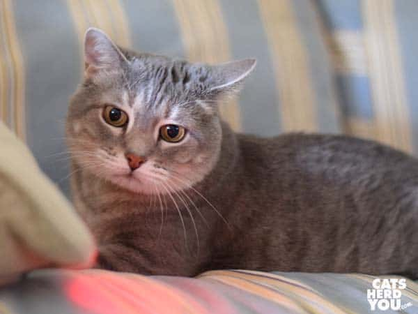 gray tabby cat wtaches red glow depart