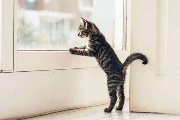 kitten looks out window. photo credit: depositphotos/ysbrand