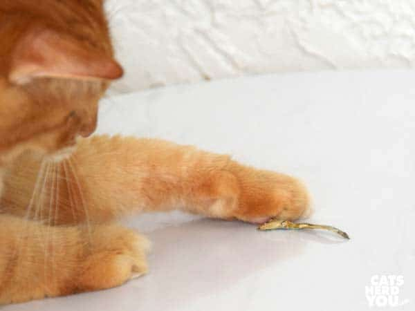 orange tabby cat paws sardine