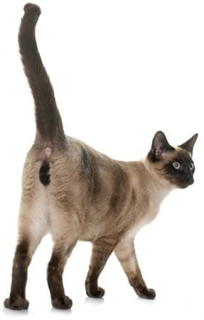 siamese cat from behind. image credit: depositphotos/cynoclub