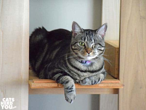 one-eyed brown tabby cat dangles one paw