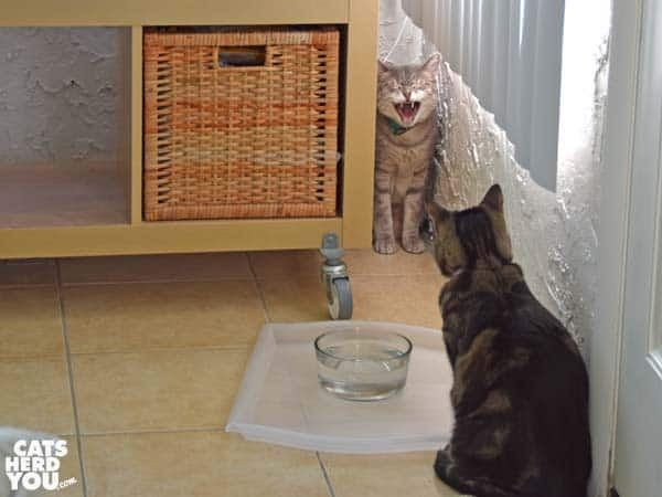 Gray tabby cat in the corner as brown tabby cat looks on