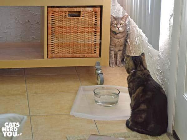 Gray tabby cat in corner as brown tabby cat looks on