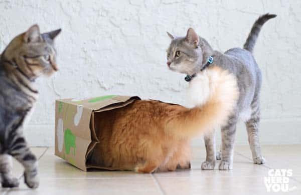 gray tabby cat and brown tabby cat look at orange tabby cat in paper bag