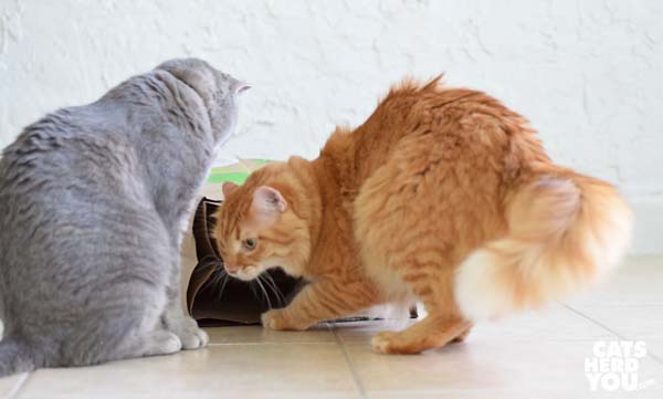 gray tabby cat watches orange tabby cat exit the paper bag