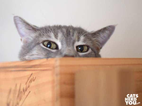gray tabby cat peers over edge of wine crate