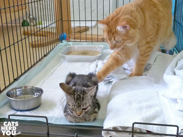 orange cat nudges brown tabby kitten with paw