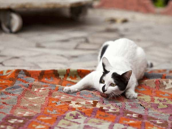 white cat with black spots playing in Istanbul. photo credit: deposithpotos/deraugenzeuge