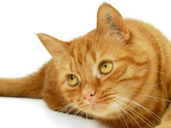 orange cat face. photo credit: depositphotos/c-foto