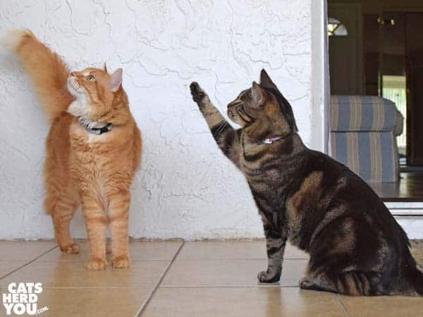 One-eyed brown tabby cat waves for treats