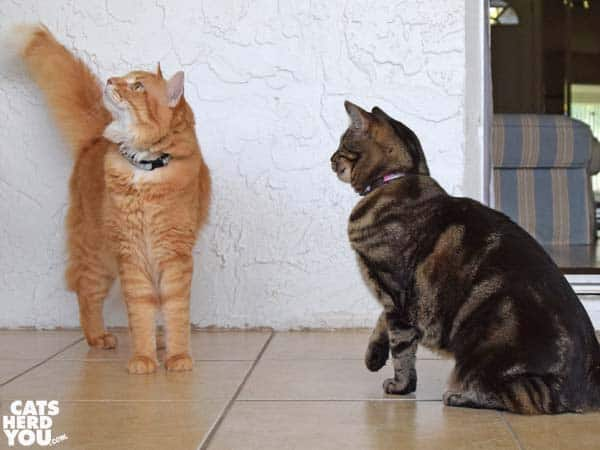 one-eyed brown tabby cat looks at orange tabby cat