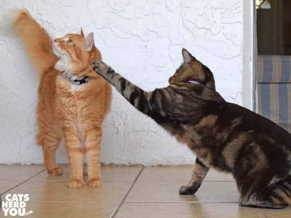 one-eyed brown tabby cat smacks orange tabby cat