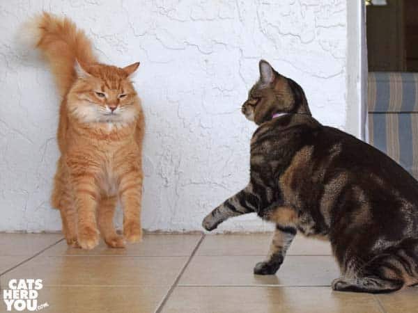 Orange tabby cat reacts to being smacked by one-eyed brown tabby cat