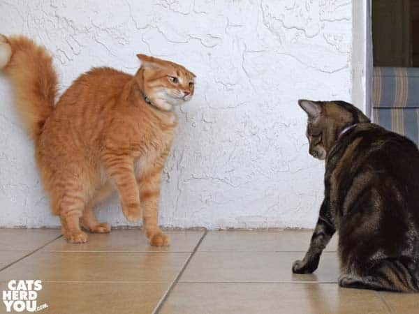 orange tabby cat looks angry at one-eyed tabby cat