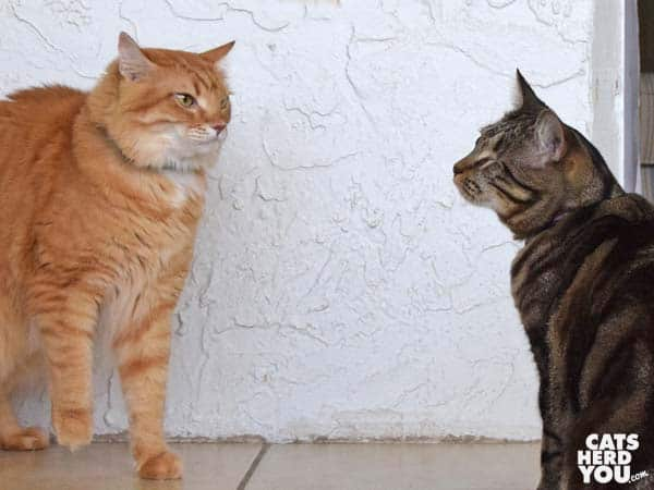 Orange tabby cat looks on at One-eyed brown tabby cat