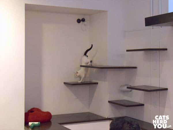Hikaru hops down wall-mounted shelves, Koneko Cat Cafe, NYC