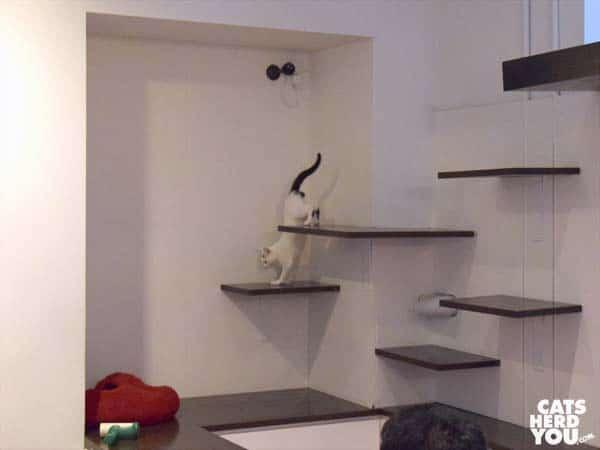 Hikaru hops down wall-mounted shelves, Koneko Cat Cafe, NYC