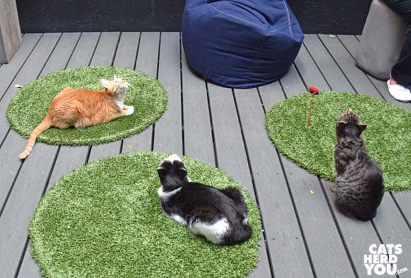 Cats watching birds, Koneko Cat Cafe, NYC