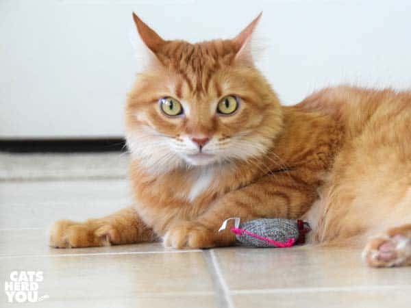 Orange tabby cat notices onlookers see him play with stuffed mouse