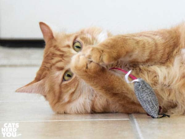 orange tabby cat plays with stuffed mouse