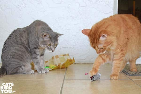 orange tabby cat steals gray tabby cat's stuffed mouse toy