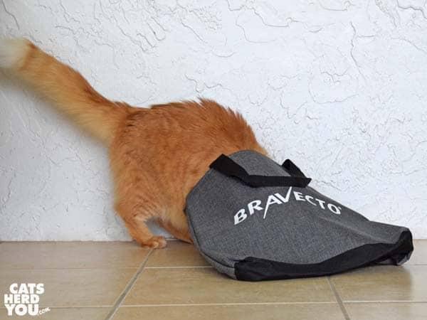 orange tabby cat looks in Bravecto tote bag