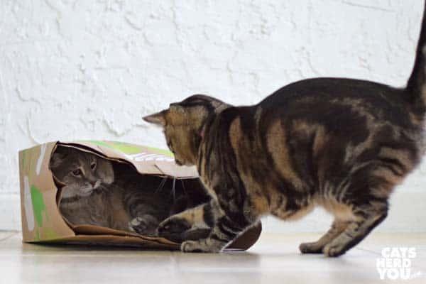 brown tabby cat swats gray tabby cat in paper bag