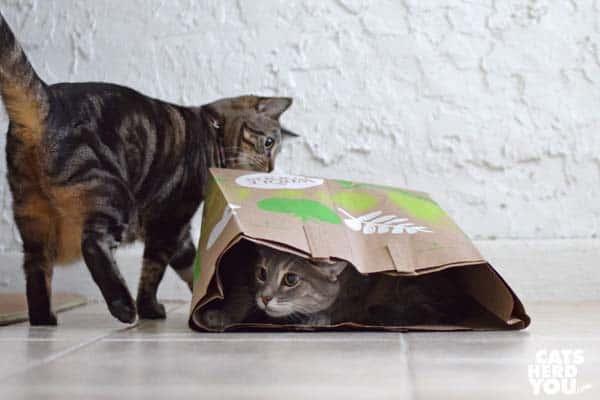 one-eyed brown tabby cat walks behind paper bag full of gray tabby cat