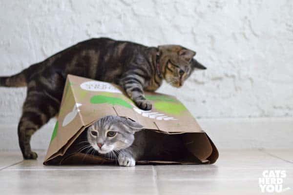 brown tabby cat swats paper bag, making gray tabby cat leave