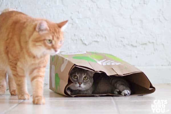 orange tabby cat walks away from gray tabby cat in paper bag