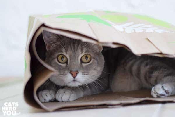 gray tabby cat in paper bag