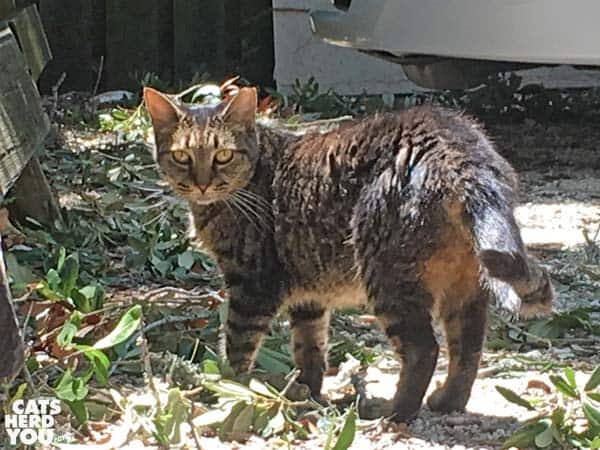 gray tabby cat at The Crab Shack