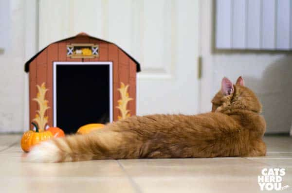 orange tabby cat ignores scattered gourds