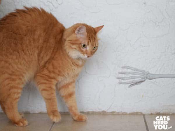 orange tabby cat looks at skeleton hand