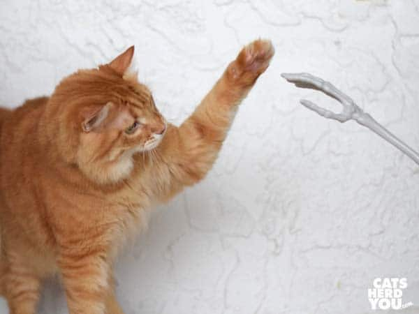 orange tabby cat high-fives the skeleton hand