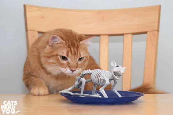 orange tabby cat looks at rat skeleton