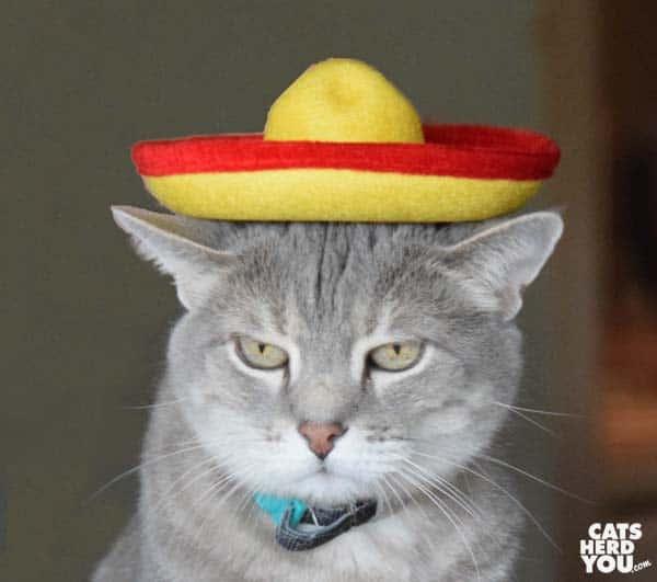 gray tabby cat wears sombrero hat