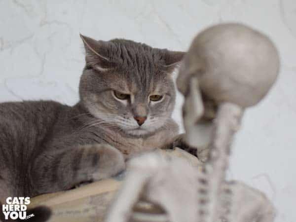 gray tabby cat looks annoyed at skeleton