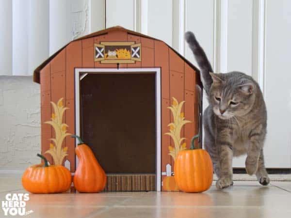 gray tabby cat leaps at pumpkin
