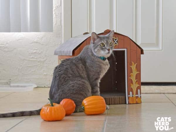 gray tabby cat and scattered gourds