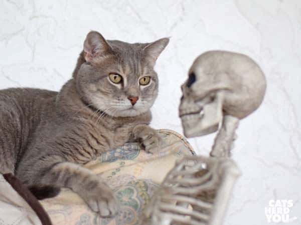 gray tabby cat looks at skeleton