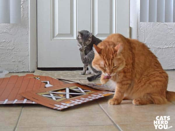 orange tabby cat and gray tabby cat bathe beside unassembled barn