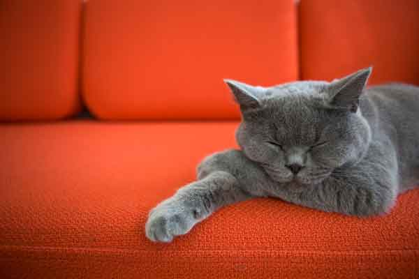 gray cat sleeps on sofa. Photo credit: depositphotos/acmanley
