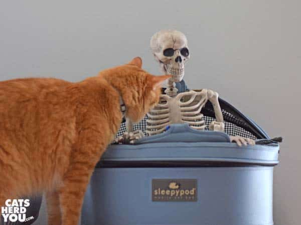orange tabby cat looks at skeleton in sleepypod